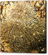 Frilled Sea Anemone Acrylic Print