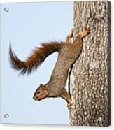 Frisky Little Squirrel With A Twirly Tail Acrylic Print by Bonnie Barry