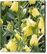 Fritillaria Pallidiflora Acrylic Print
