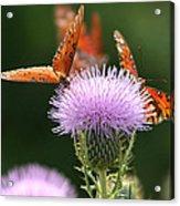 Fritillary Wings And Thistles Acrylic Print
