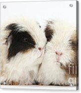 Frizzy Alpaca Guinea Pigs Acrylic Print