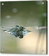 Frog Hunting Bugs Acrylic Print