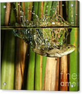 Frog Jumps Into Water Acrylic Print by Ted Kinsman