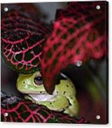 Frog On A Leaf Acrylic Print