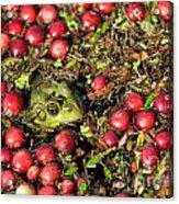 Frog Peaks Up Through Cranberries In Bog Acrylic Print