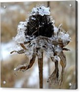Frost And Snow On Dead Daisy Acrylic Print