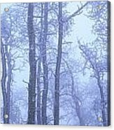 Frost Covered Trees In Fog, Alaska Acrylic Print