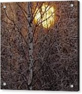 Frost-covered White Birch Trees Acrylic Print