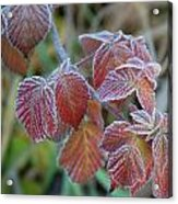 Frost On Leaves No. 3 Acrylic Print