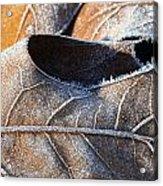 Frost On Oak Leaf Acrylic Print