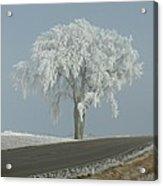 Frost On The Big Tree  Acrylic Print