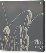 Frosted Grass In Fog Acrylic Print