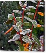 Frosted Rhodie Acrylic Print