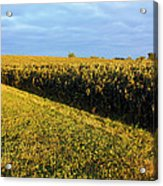 Frosted Soybeans Acrylic Print