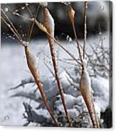 Frosted Trumpets Acrylic Print