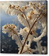 Frosty Dry Wood Aster Acrylic Print