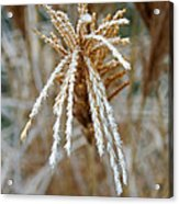 Frosty Fountain Grass Acrylic Print