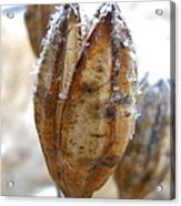 Frosty Tiger Lily Seed Pod Acrylic Print