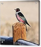 Frosty Woodpecker Acrylic Print