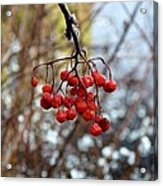 Frozen Mountain Ash Berries Acrylic Print