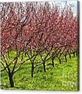 Fruit Orchard Acrylic Print by Elena Elisseeva