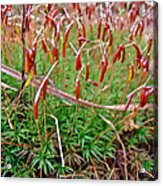 Fruiting Moss - Red And Green Tableau Acrylic Print
