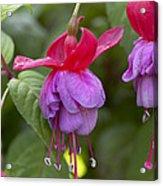 Fuchsia Fuchsia Sp Red And Blue Variety Acrylic Print
