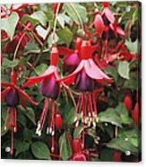 Fuchsia 'mrs Popple' Acrylic Print