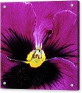 Fuchsia Pansy Acrylic Print