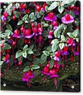Fuchsia 'swanley Gem' Acrylic Print