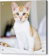 Fuji Kitten Acrylic Print