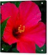 Full Bloom Acrylic Print