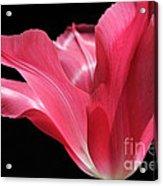 Full Bloom Pink Tulip Flower Acrylic Print