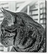 Full Profile Of The Cat - Black-and-white Acrylic Print