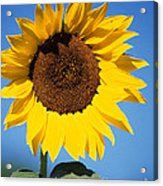 Full Sunflower Acrylic Print