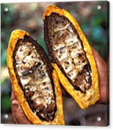 Fungal Infection Of Cacao Acrylic Print by Science Source
