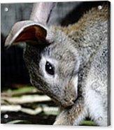 Funny Rabbit Acrylic Print