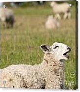 Funny Sheep Acrylic Print