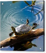 Funny Turtle Catching Some Rays Acrylic Print