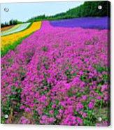Furano Lavender Season Acrylic Print