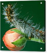 Furry Caterpillar Acrylic Print