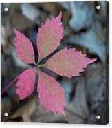 Fushia Leaf 2 Acrylic Print