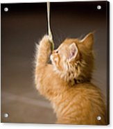 Fuzzy Baby Kitten Playing And Pulling On A Cord Acrylic Print