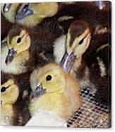 Fuzzy Ducklings Acrylic Print