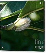 Fuzzy Magnolia Acrylic Print