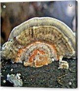 Fuzzy Turkey Tail Shelf Fungus - Trametes Ochracea Acrylic Print