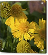 Gaillarde Mesa Yellow Acrylic Print