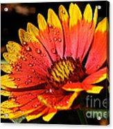 Gaillardia Flower Acrylic Print