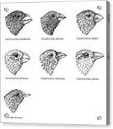 Galapagos Finches, Artwork Acrylic Print by Gary Hincks
