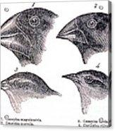Galapagos Finches Acrylic Print